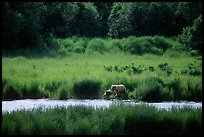 Brown bears in Brooks river. Katmai National Park, Alaska, USA. (color)