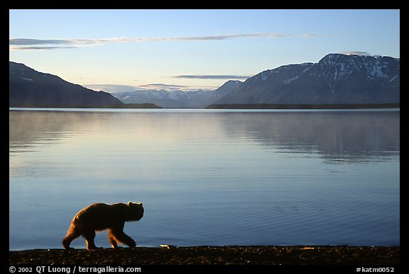 Alaskan Brown bear (Ursus arctos) on the shore of Naknek lake. Katmai National Park, Alaska, USA.