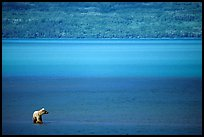 Brown bear in shallows waters of Naknek lake. Katmai National Park, Alaska, USA.