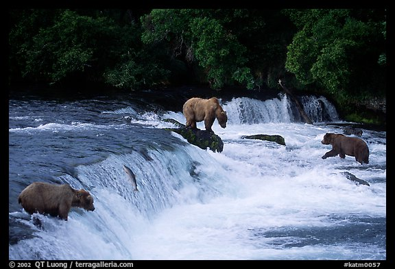Overview of Brown bears fishing at the Brooks falls. Katmai National Park (color)