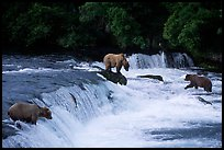 Overview of Brown bears fishing at the Brooks falls. Katmai National Park, Alaska, USA.