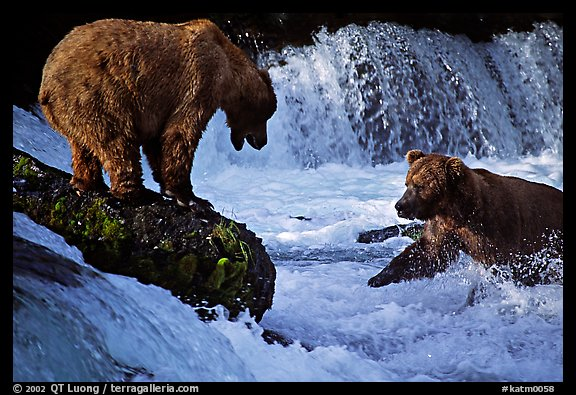 Brown bears fishing at the Brooks falls. Katmai National Park, Alaska, USA.