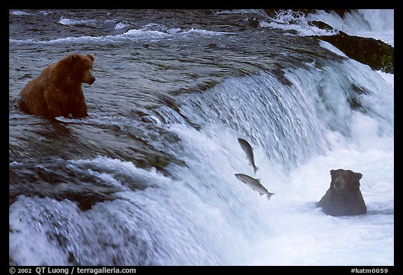 Salmon leaping and Brown bears fishing at the Brooks falls. Katmai National Park, Alaska, USA.