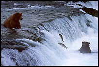 Salmon leaping and Brown bears fishing at the Brooks falls. Katmai National Park, Alaska, USA. (color)