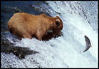 Alaskan Brown bear trying to catch leaping salmon at Brooks falls. Katmai National Park, Alaska, USA. (color)