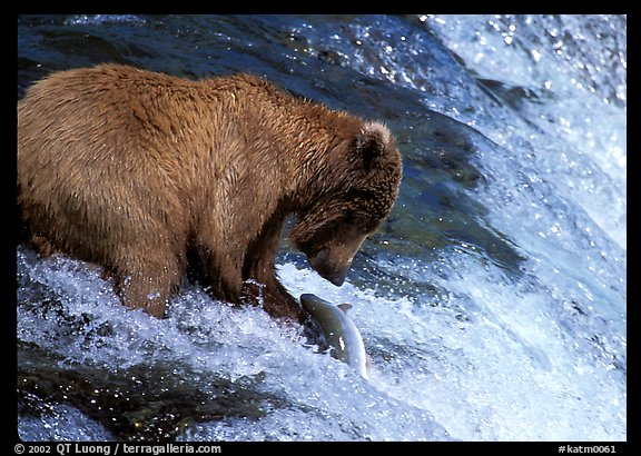 Brown bear (Ursus arctos) catching leaping salmon at Brooks falls. Katmai National Park (color)