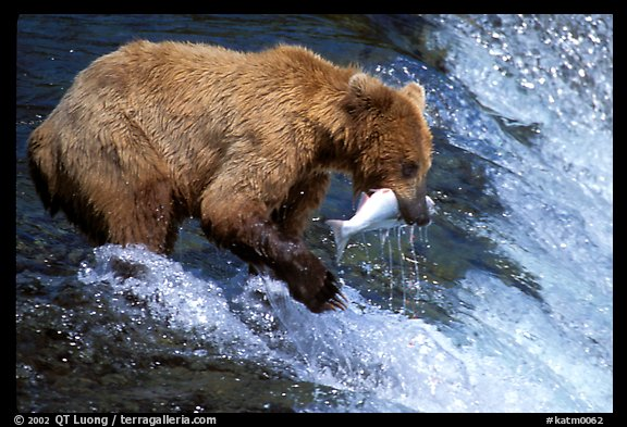 Picture photo alaskan brown bear catching leaping salmon for Bear catching fish
