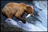 Alaskan Brown bear catching leaping salmon at Brooks falls. Katmai National Park, Alaska, USA.
