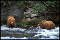 Brown bears (scientific name: ursus arctos) fishing at the Brooks falls. Katmai National Park, Alaska, USA. (color)