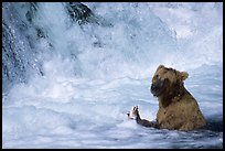 Alaskan Brown bear (Ursus arctos) fishing at the base of Brooks falls. Katmai National Park, Alaska, USA.