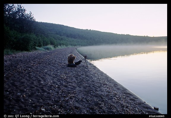 A brown bears plays with a photographer's equipment. Katmai National Park (color)