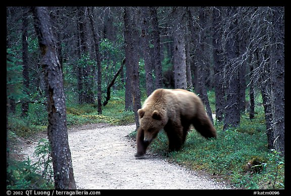 Brown bears encounters on trail are frequent at Brooks camp. Katmai National Park (color)