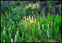 Orchids and Yellow paintbrush. Katmai National Park, Alaska, USA. (color)