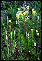 Yellow paintbrush and orchid flowers. Katmai National Park, Alaska, USA. (color)