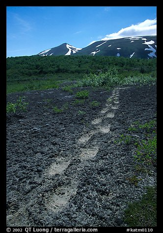 Big bear tracks in the ash, Valley of Ten Thousand smokes. Katmai National Park, Alaska, USA.