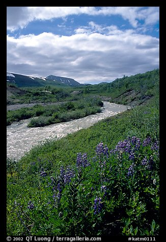Lupine and Lethe river on the edge of the Valley of Ten Thousand smokes. Katmai National Park (color)