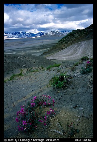 Wildflowers grow on ash at the limit of the Valley of Ten Thousand smokes. Katmai National Park (color)