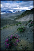 Wildflowers grow on ash at the limit of the Valley of Ten Thousand smokes. Katmai National Park, Alaska, USA.