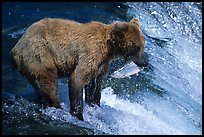 Brown bear holding in mounth  salmon at Brooks falls. Katmai National Park, Alaska, USA. (color)