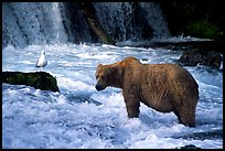 Brown bear and bird at the base of Brooks falls. Katmai National Park, Alaska, USA.