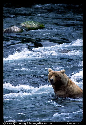Alaskan Brown bear (Ursus arctos) fishing for salmon at Brooks falls. Katmai National Park (color)