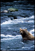 Alaskan Brown bear (Ursus arctos) fishing for salmon at Brooks falls. Katmai National Park, Alaska, USA.