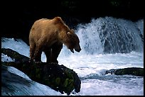 Brown bear standing on rock at Brooks falls. Katmai National Park, Alaska, USA.