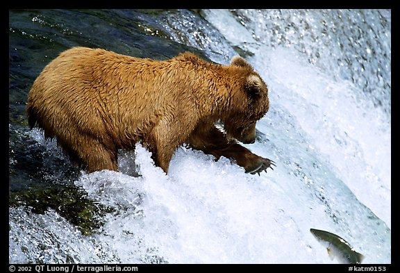 Brown bear extending leg to catch jumping salmon at Brooks falls. Katmai National Park (color)