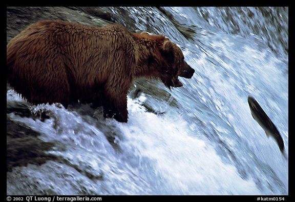 Brown bear (Ursus arctos) trying to catch leaping salmon at Brooks falls. Katmai National Park (color)