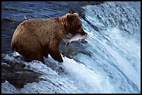 Alaskan Brown bear with catch  at Brooks falls. Katmai National Park, Alaska, USA.