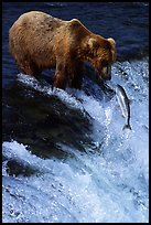 Brown bear (Ursus arctos) and leaping salmon at Brooks falls. Katmai National Park, Alaska, USA.