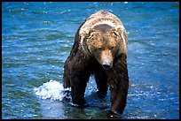 Alaskan Brown bear in the Brooks river. Katmai National Park, Alaska, USA. (color)