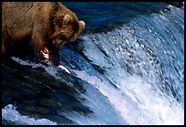 Brown bear (Ursus arctos) holding salmon with leg at Brooks falls. Katmai National Park, Alaska, USA.