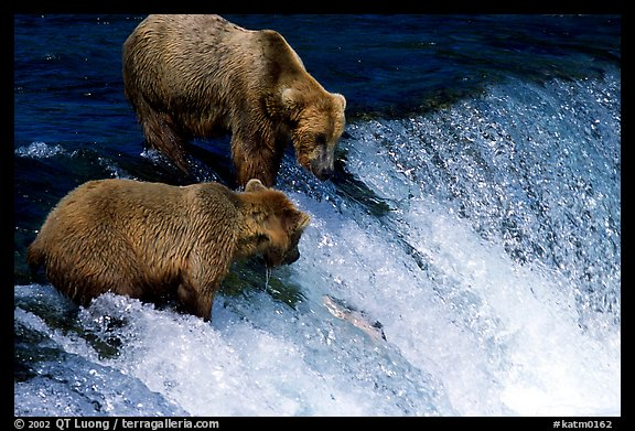 Two Brown bears trying to catch leaping salmon at Brooks falls. Katmai National Park (color)