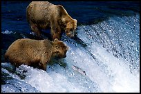 Two Brown bears trying to catch leaping salmon at Brooks falls. Katmai National Park, Alaska, USA.