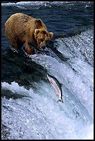 Brown bear watching a salmon jumping out of catching range at Brooks falls. Katmai National Park, Alaska, USA.