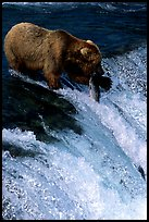 Alaskan Brown bear with caught salmon at Brooks falls. Katmai National Park, Alaska, USA. (color)
