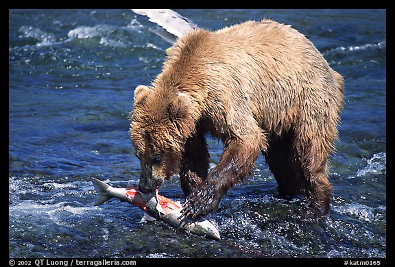 Brown bear (scientific name: ursus arctos) eating salmon at Brooks falls. Katmai National Park (color)