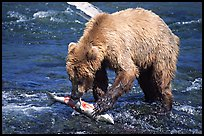 Brown bear (scientific name: ursus arctos) eating salmon at Brooks falls. Katmai National Park, Alaska, USA. (color)