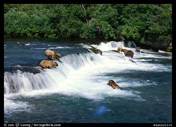 Brown bears gathering at Brooks Falls. Katmai National Park (color)