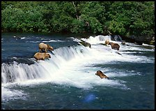 Brown bears gathering at Brooks Falls. Katmai National Park, Alaska, USA. (color)