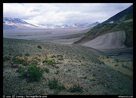 Wildflowers growing on foothills bordering the Valley of Ten Thousand smokes. Katmai National Park (color)