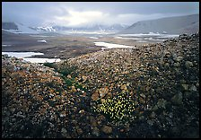 Wildflowers, pumice, and distant peaks in storm, Valley of Ten Thousand smokes. Katmai National Park, Alaska, USA.