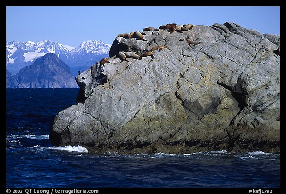 Rock with cormorant and sea lions in Aialik Bay. Kenai Fjords National Park, Alaska, USA.
