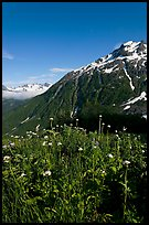 Wildflowers and peak. Kenai Fjords National Park, Alaska, USA.