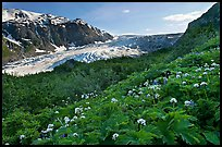 Wildflowers and Exit Glacier, late afternoon. Kenai Fjords National Park, Alaska, USA.