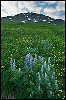 Lupine, buttercups, and rocky ridge. Kenai Fjords National Park, Alaska, USA.