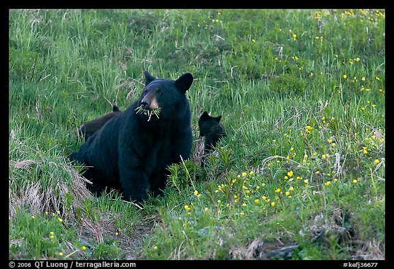 Black bear with cubs. Kenai Fjords National Park, Alaska, USA.