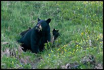 Black bear with cubs. Kenai Fjords National Park, Alaska, USA. (color)