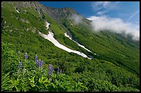 Lupine, neve, and verdant mountain slopes. Kenai Fjords National Park, Alaska, USA.